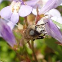 ムラサキサキゴケとセイヨウミツバチ