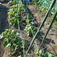 初栽培のリッチーナの様子