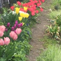 チューリップ咲く春の小川 🌷 2017年4月21日