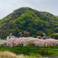 花水川の桜並木