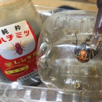 ヒメスズメバチの飼育 29日目
