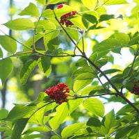 ★ニワトコの実が緑の林の中で赤々と妖艶に(1)2017