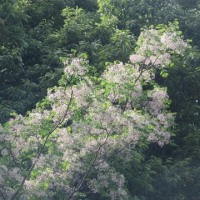 桐の花・センダンの花