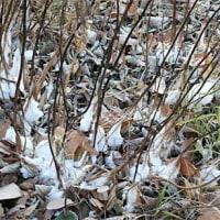 ようやく撮れた シモバシラの「氷の華」