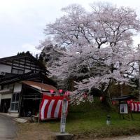 越中の桜 その1 氷見、砺波の桜