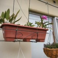 胡蝶蘭の様子