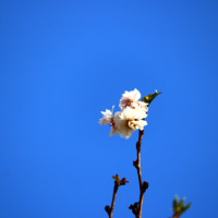 散歩道の風景・・・十月桜