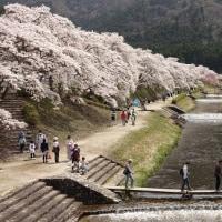 今年最後の桜見