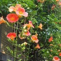 初夏の花:ノウゼンカズラを探して