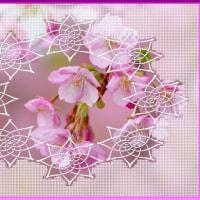 寒桜はまだ蕾