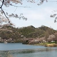桜🌸吹雪 ウォーキング その2