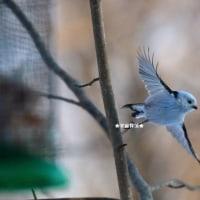 野鳥観察 シマエナガ特集3