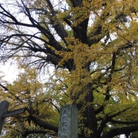 おっきなイチョウの木