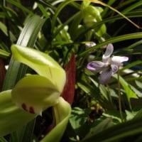 スミレの育て方3月 スミレの花を楽しむ  日本スミレの開花9番目 中国春蘭のプランター鉢から