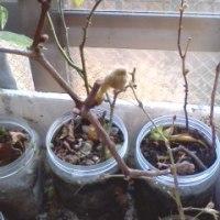 ブドウの葉