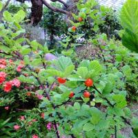 ゆすらうめ(山桜桃梅)の赤い実が美しい。