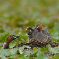 育児中のカイツブリ