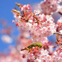 寒桜の頃 by 空倶楽部