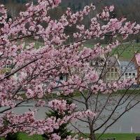 北海道の桜は、ゴールデンウィークのようです。