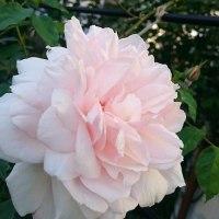 マダムアルフレッドカリエールは美しい