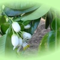5/29(月) 晩白柚の花