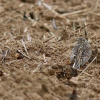 植えたばかりのサトウキビ畑で休む  ヒバリ