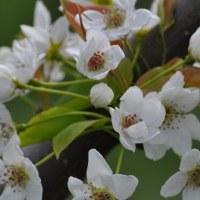 旅行の土産を届けた際に 満開の梨の花を