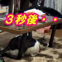 トム&ジェリー? 仲良くケンカしな♪【猫日記こむぎ&だいず】2017.02.16