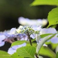 花木点景:夏道の青