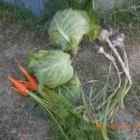 今日の収穫 初収穫のキャベツ3玉 ニンニク ニンジン