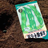 ソラマメ播種