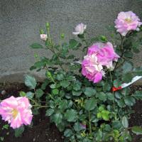 薔薇は、死なない