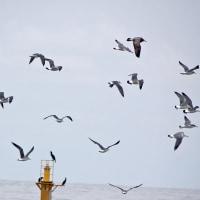 1月7日   海鳥飛翔