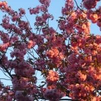 桜満開 わが家の♀猫ジョン太くんグロッキー