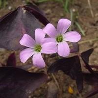 ぉ節の花「オキザリス」