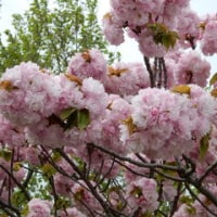 寄り道で八重桜