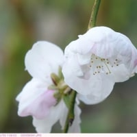 シダレハナモモ 〈枝垂れ花桃〉