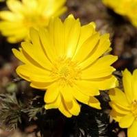 小庭の花開花、春ですね・・・