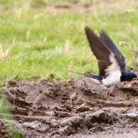 空飛ぶ左官屋さん・ツバメの巣材集め