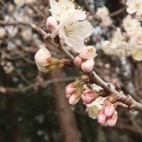 ●3/18 大久保農園報告 桜が咲きました。