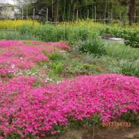 藤 牡丹 芝桜 八重桜 ツツジ チューリップの花達が笑っています・・・・・  そしてキジが止まりません・・・
