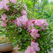 盆栽 皐月 【 鶴翁 ( かくおう ) 】が開花中