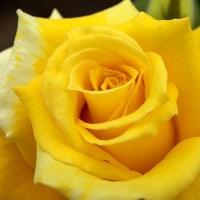 黄色いバラ・エンブレム