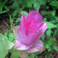 春ウコンの花・・・。