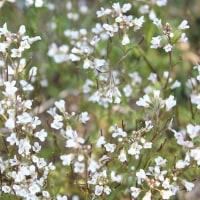 春の野の花~タネツケバナ