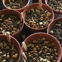 アデニウムの種まき