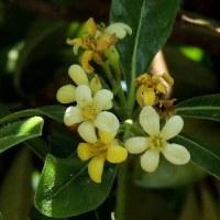トベラの花