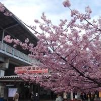 寒さしぶとくとも春は春。「三浦の河津桜」