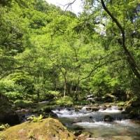 新緑の白神山地