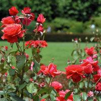 新宿御苑点描 バラ花壇2 TAMRON SP45mmf1.8 Di VC USD